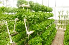 Hydroponics Growing System for Green Vegetables in Agricultural Greenhouse