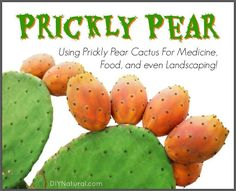 Prickly Pear Info and a Recipe For Prickly Pear Syrup Recipe for Prickly pear juice and prickly pear syrup along with some fun and useful health facts about the fruit. You will also be surprised at its hardiness! Prickly Pear Syrup Recipe, Prickly Pear Recipes, Prickly Pear Juice, Prickly Pear Margarita, Prickly Pear Cactus, Fruit Recipes, Real Food Recipes, Yummy Recipes, Recipies