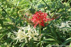 紅白のヒガンバナ