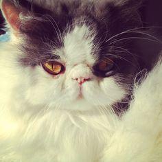My beautiful persian cat ❤