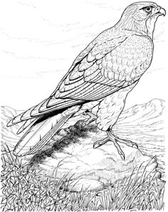 Hard coloring pages of birds ~ Realistic printable drawing pages of hawk in hard Bird ...