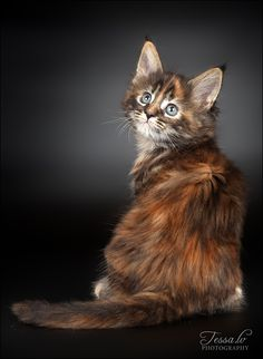 Maine Coon Kitten, OMG, so adorable!