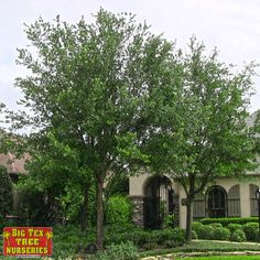 The Live Oak is a remarkable evergreen oak tree specimen grown in Houston and is very heat resistant