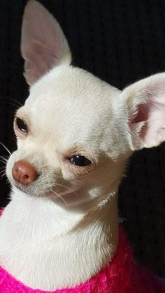 Looks like my angel 😇 White Chihuahua, Teacup Chihuahua, Chihuahua Puppies, Cute Puppies, Dogs And Puppies, Doggies, Love Dogs, Pet Costumes, Cute Baby Animals