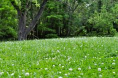 In Defense of the Clover Lawn - White Dutch Clover