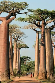 Baobab Avenue - Madagascar  I consider these to be the most beautiful trees.