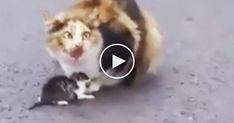 Drivers noticed a very sad sight, a mother trying to protect her VERY last tiny kitten in the middle of the busy highway.  The poor sad sight was ignored by many people until some kind humans stopped the traffic for the rescue operation!  Watching this will bring tears to your eyes, I'm so happy