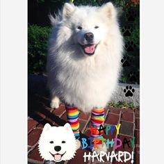 SPECIAL ANNOUNCEMENT!! Harvard's 13th Birthday Pawty Fundraiser! This year to celebrate Harvard's 13th birthday we decided to give back to the pet community even more by starting a non-profit charitable organization Harvard Dangerfield's Pawsitively Pawesome Charity to support and help our fluffy and furry friends!  To get this charity started we need your help! For more info & to support Harvard's Pawsitively Pawesome Charity: http://ift.tt/1zDCnm1 PAWTY DETAILS: Where:Boston Common near…
