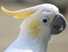 cockatoo - Google Search