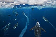 Paul Nicklen penguin photo