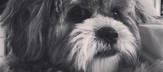 Follow our sweet Arne Jacobsen on Instagram @ArneDoodle #shichon #ArneJacobsen #dogsofinstagram