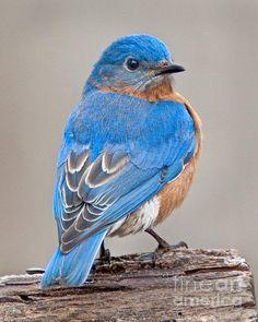 Bluebird by Jack Nevitt