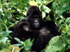 Mountain Gorilla: Their habitat is shrinking, and fewer than 700 remain. 2013 Critically Endangered Species