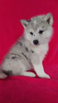 Pomsky-Siberian Husky Mix puppy for sale in LANCASTER, PA. ADN-72153 on PuppyFinder.com Gender: Female. Age: 6 Weeks Old