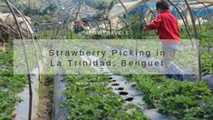 Petite Momma's World: Strawberry Picking in La Trinidad Benguet Strawberry Farm, Strawberry Picking, Trinidad, Us Travel, Travel Tips, Staycation, Homeschooling, World, Plants