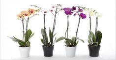 A orquídea é uma planta muito apreciada em todo o mundo.Suas flores podem ser de várias cores, principalmente depois da técnica de hibridização.Para você ter noção, há quase 17 mil espécies de orquídea espalhadas pelos continentes.