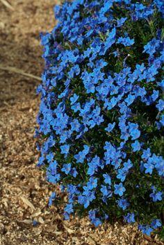 Lithodora diffusa 'Grace Ward' | Lambley Nursery