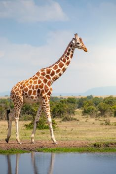 Gorgeous giraffe mr tumble and other like groundhogs, wild and pets comparison is the thief of all joy con. Like Animals, Animals Of The World, Animals And Pets, Giraffe Painting, Giraffe Art, Giraffe Pictures, Animal Pictures, Pinturas Disney, Wild Animals Photos