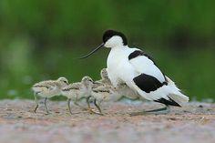 Kluut  (Van vroegevogels)