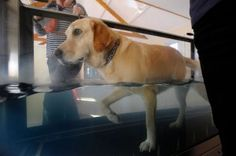Dog doing rehab on an underwater treadmill