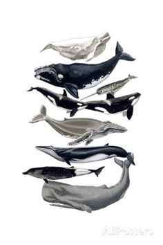 Decorative wall chart from an original painting by Naomi McCavitt of Whale types. Giclee print on high quality canvas. By Thicket Design Frames For Canvas Paintings, Painting Prints, Wall Art Prints, Wassily Kandinsky, Gustav Klimt, Jurassic World, Claude Monet, Looney Tunes, Tom Y Jerry