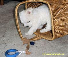 Cindy 4/2008d - Bichon Bolognese / Boloňský psík Bichon Bolognese, Dog Lady, Little Dogs, Little Puppies, Small Dogs