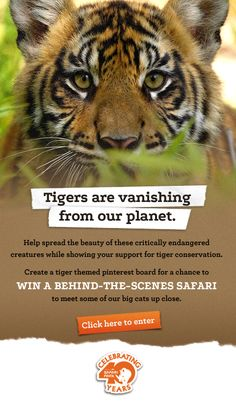Create a tiger-themed pin board for a chance to meet some of our big cats up close.