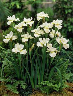 Iris sibirica 'White Swirl' Siberian iris