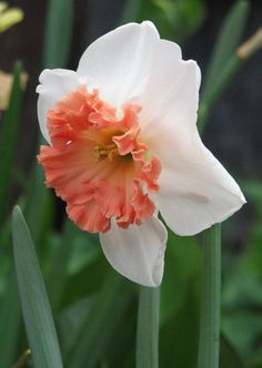 Large-Cupped Narcissus 'Precocious'
