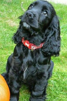 Get healthy and ethically bred Cocker Spaniel puppies for sale, Cocker Spaniel dogs for adoption in Black Cocker Spaniel Puppies, Perro Cocker Spaniel, Sprocker Spaniel Puppies, Spaniel Puppies For Sale, American Cocker Spaniel, Cute Dogs And Puppies, Pet Dogs, Doggies, English Cocker Spaniel Breeders
