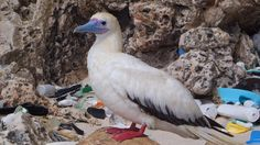 Unless something is done to stem the flow of waste to the oceans, virtually every seabird will be ingesting plastic debris by 2050, say scientists.