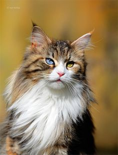 Main Coon Torbie Cat with one blue eye & one gold eye