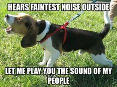 Coonhound, the bay of their people. Best sounds ever. well, most of the time lol