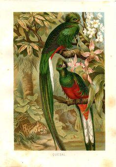 Antique Bird Print  Quetzal Chromolithograph by CarambasVintage, $16.00