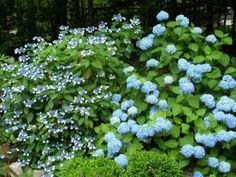 Consejos básicos para cultivar hortensias  #jardineria