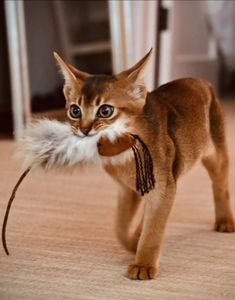 Funny Animal Pictures, Funny Animals, Cute Animals, Crazy Cat Lady, Crazy Cats, Cats And Kittens, Abyssinian Kittens, Cat Apartment, Brown Cat