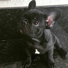 Such a cute French Bulldog Puppy❤❤❤ Baby Pugs, Cute Baby Dogs, Cute Little Puppies, Cute Dogs And Puppies, Cute Little Animals, Doggies, Brindle French Bulldog, Cute French Bulldog, French Bulldog Puppies