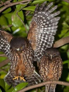 Morepork Day Roost Photograph at Nga Manu Images Owl Wings, Owl Pictures, Animal Antics, Owl Charms, Bird Tree, Snowy Owl, Reptiles And Amphibians, Birds Of Prey, Wild Birds