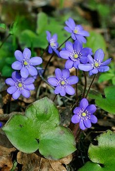 Hepatica; liverleaf; liverwort. These should be flowering here in NH any time now! Be prepared to did through those forest floor leaves to find the flowers! You can buy these as bulbs, totally worth it. They are a true periwinkle color!