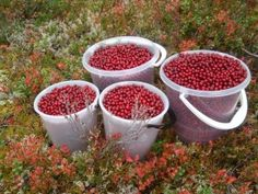 Lingonberries! Berry Picking, Five In A Row, Norwegian Food, Berries, September, Red, Autumn, Fall, Arctic