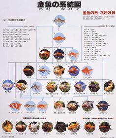 金魚の系統図