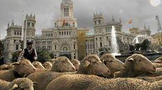 Ovejas recorren el centro de Madrid.