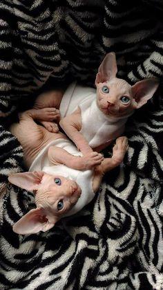 sphynx #catbreeds