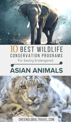 Want to help save endangered Asian Animals? Check out our guide to the 10 Best Asian Wildlife Conservation NGOs, including volunteer opportunities with elephants, pandas, pangolins, orangutans, snow leopards, tigers & more! | Volunteering Abroad | Volunteering with Animals | Conservation Projects via @greenglobaltrvl