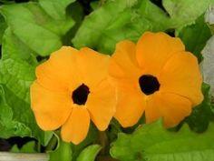 Samen Schwarzäugige Susanne orange/Blumensamen/Sämerei/Kletterpflanze