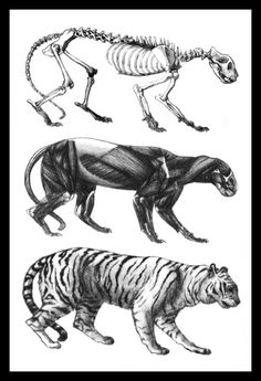Bengal Tiger Anatomy
