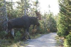 giant moose!