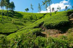 train travel through tea country in Sri Lanka