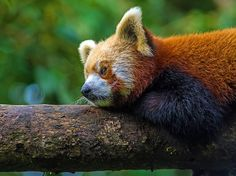 An endangered red panda lounges on a tree branch in India's Darjeeling Zoo in this National Geographic Photo of the Day.