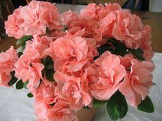 Mevsimlik Çiçek Bakımı: AÇELYA (Rhododendron Simsii) BAKIMI   gülser